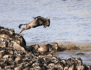 The Great Wildebeest Migration – Lotus Blanc Photography